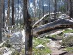 Marmot on tree across trail at Jenny Lake