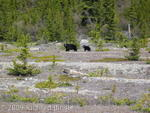 Black bear and year old cub near Columbia Icefield