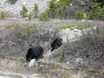 Black bear and one year old cub near Columbia Icefield