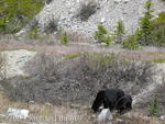 Black bear and one year old cub getting a drink