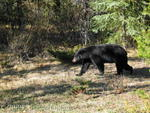 Black bear - Sunwapta