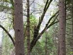 Bears Up A Tree